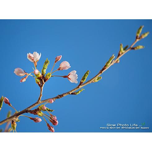 2016年スタジオの桜