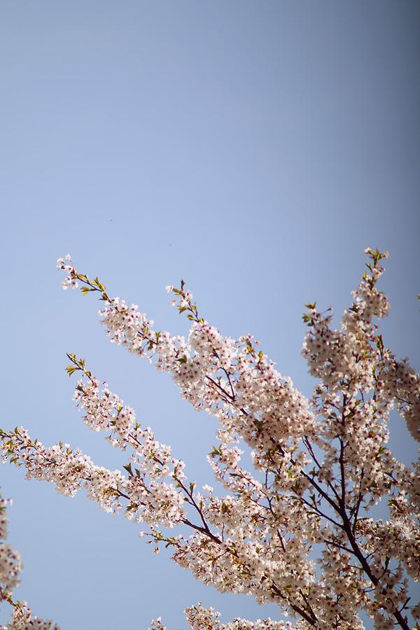 スタジオの桜